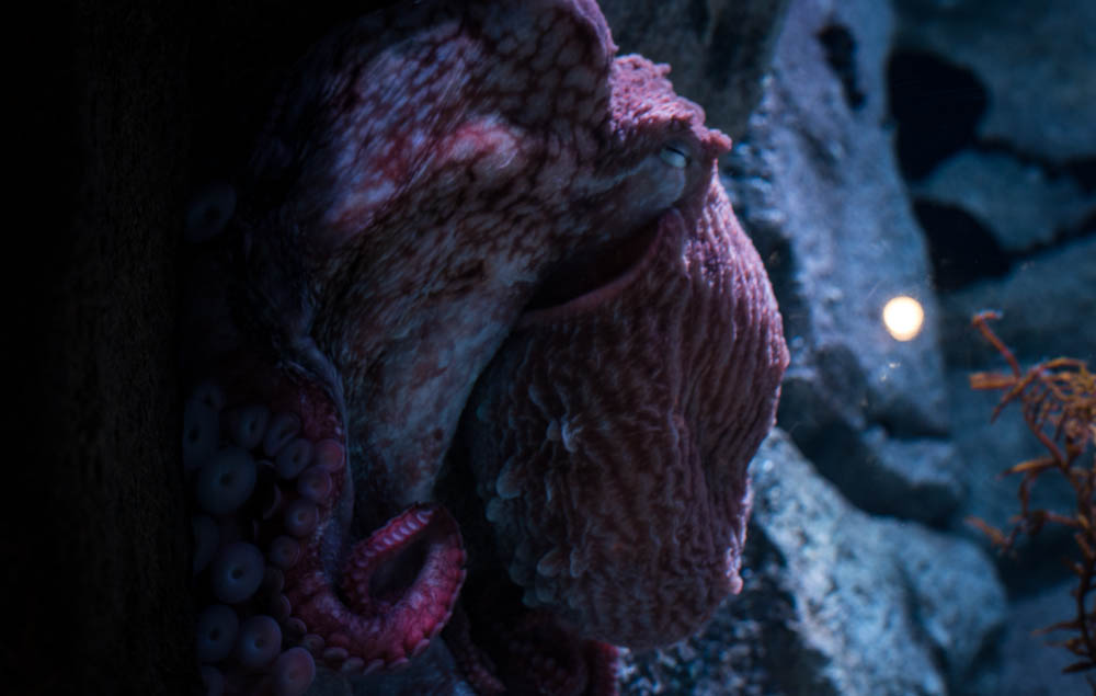moody giant octopus